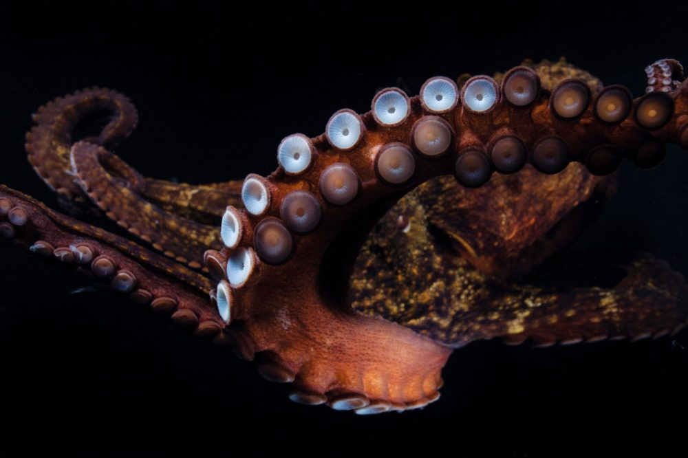 A common octopus has more than 200 suckers on each arm,