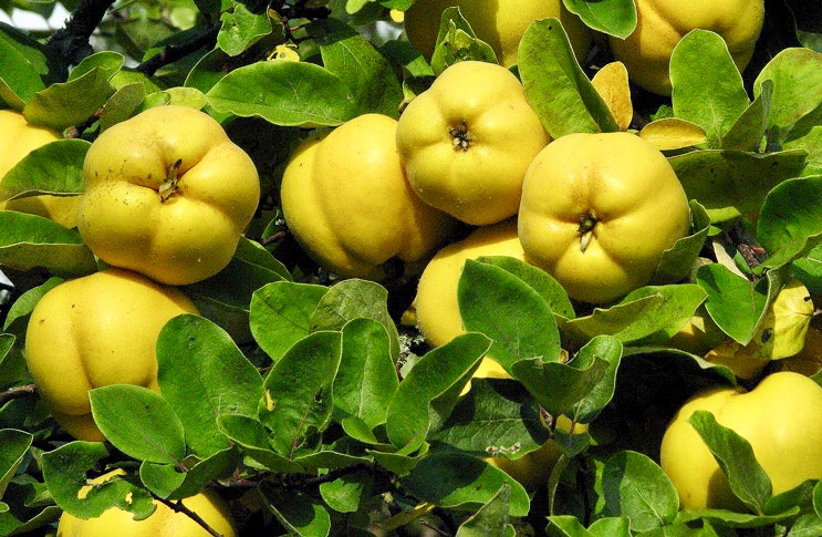 Quince season - a fruit worth waiting for