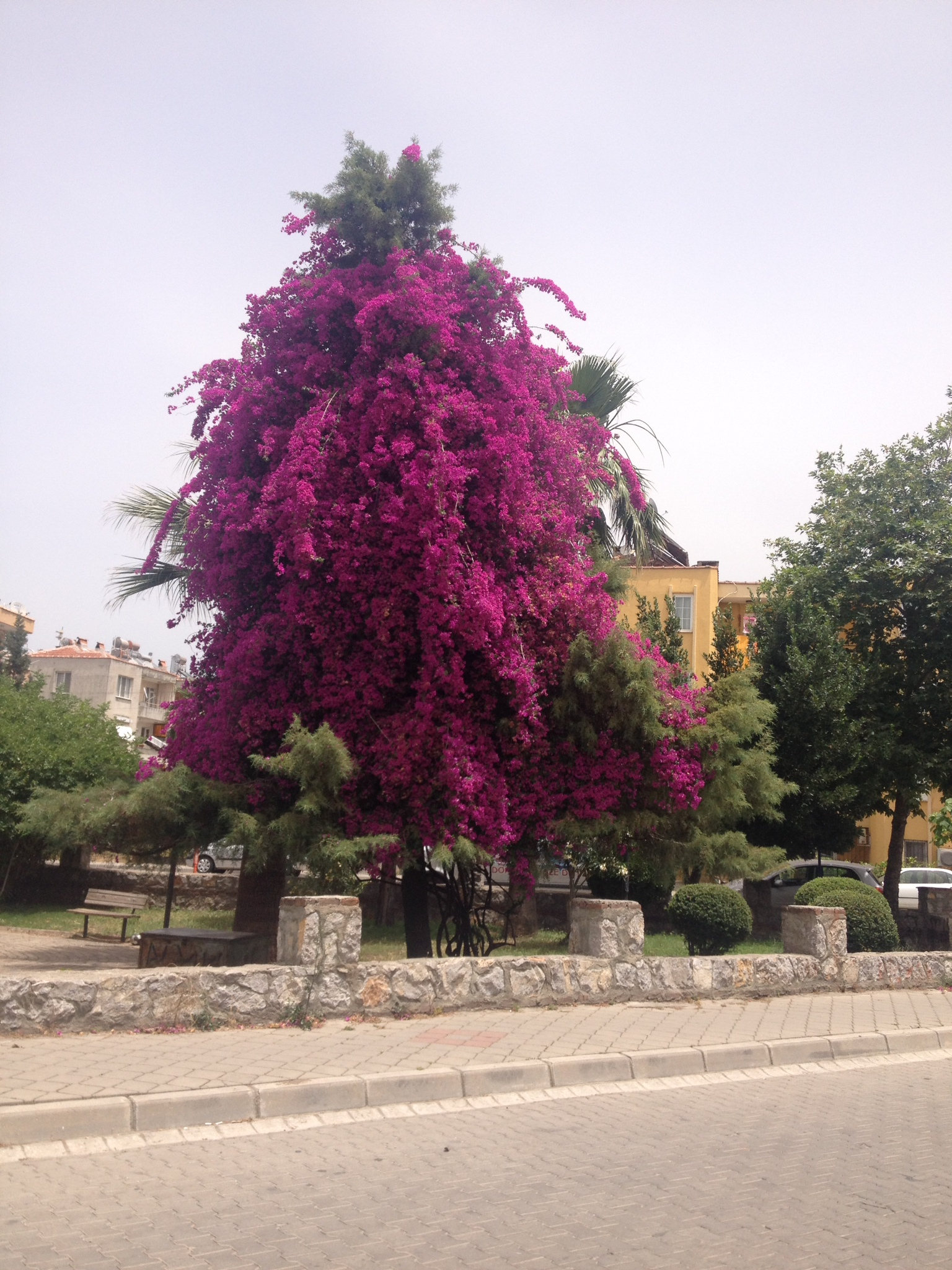 The bougainvillea has completely engulfed this pine tree!