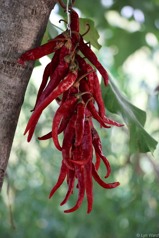 Red peppers drying in the sun