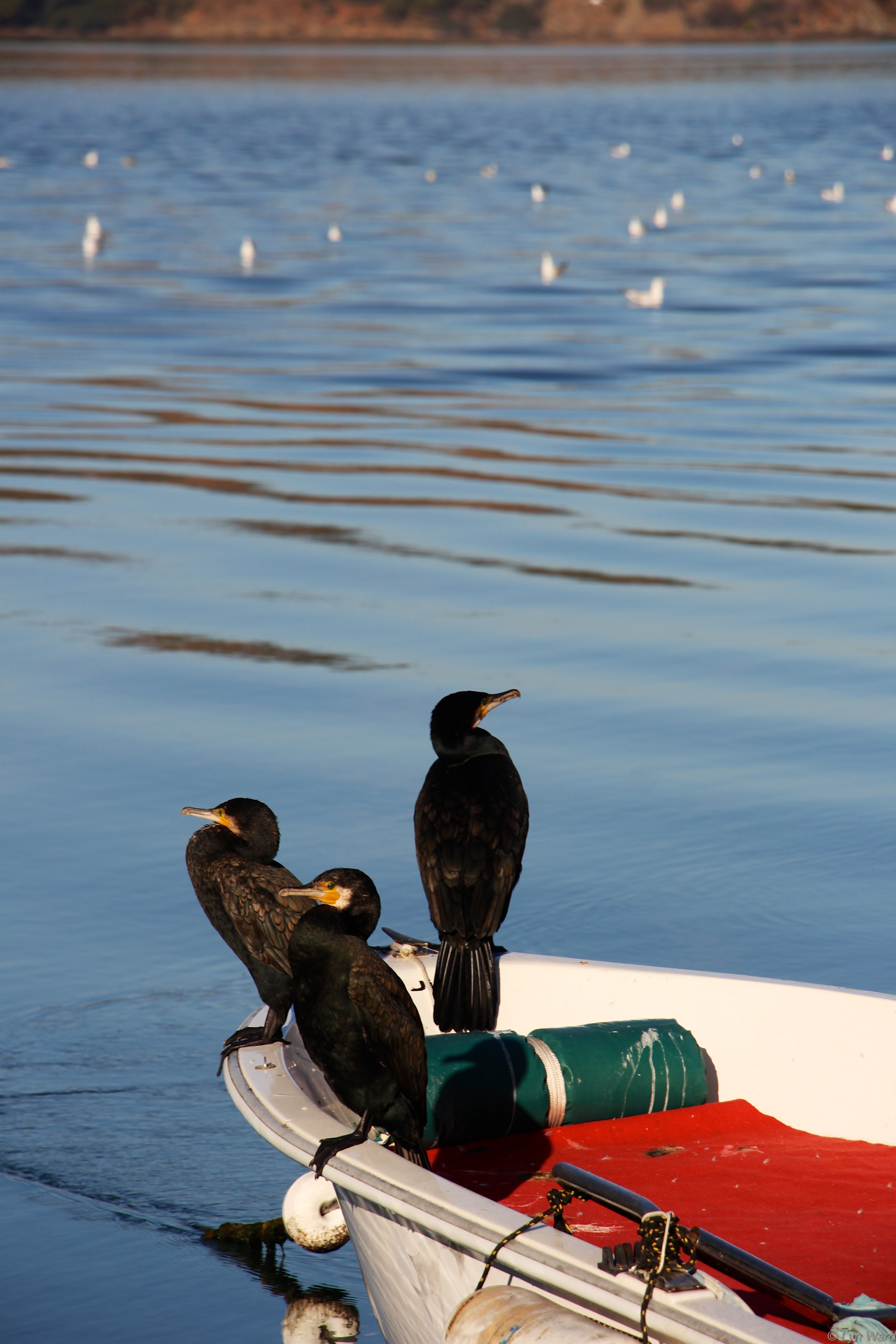 These Cormorants came for breakfast too
