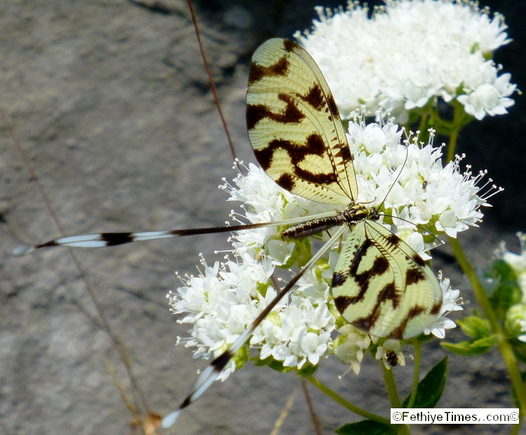A Thread Lacewing (Nemopter Bipennis) photographed at the ancient site of Lydae near Gocek, Turkey