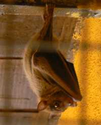 Egyptian Fruit Bat - Rousettus - Fethiye, Turkey 2009