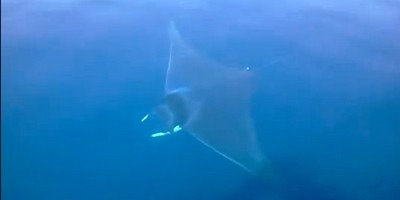 A Giant Devil Ray pictured in the gulf of Fethiye March 2012