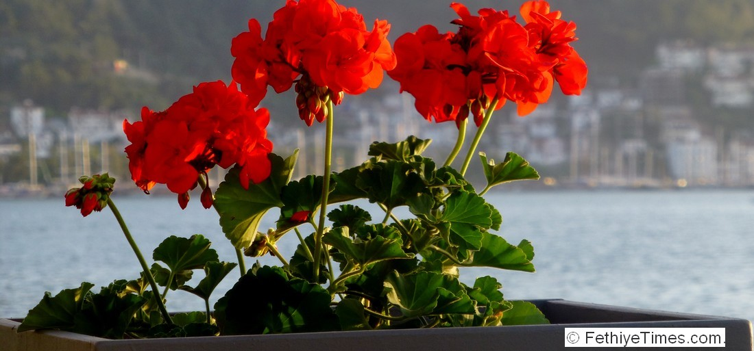 A red geranium in a planter on Fethiye promenade with Fethiye in the background