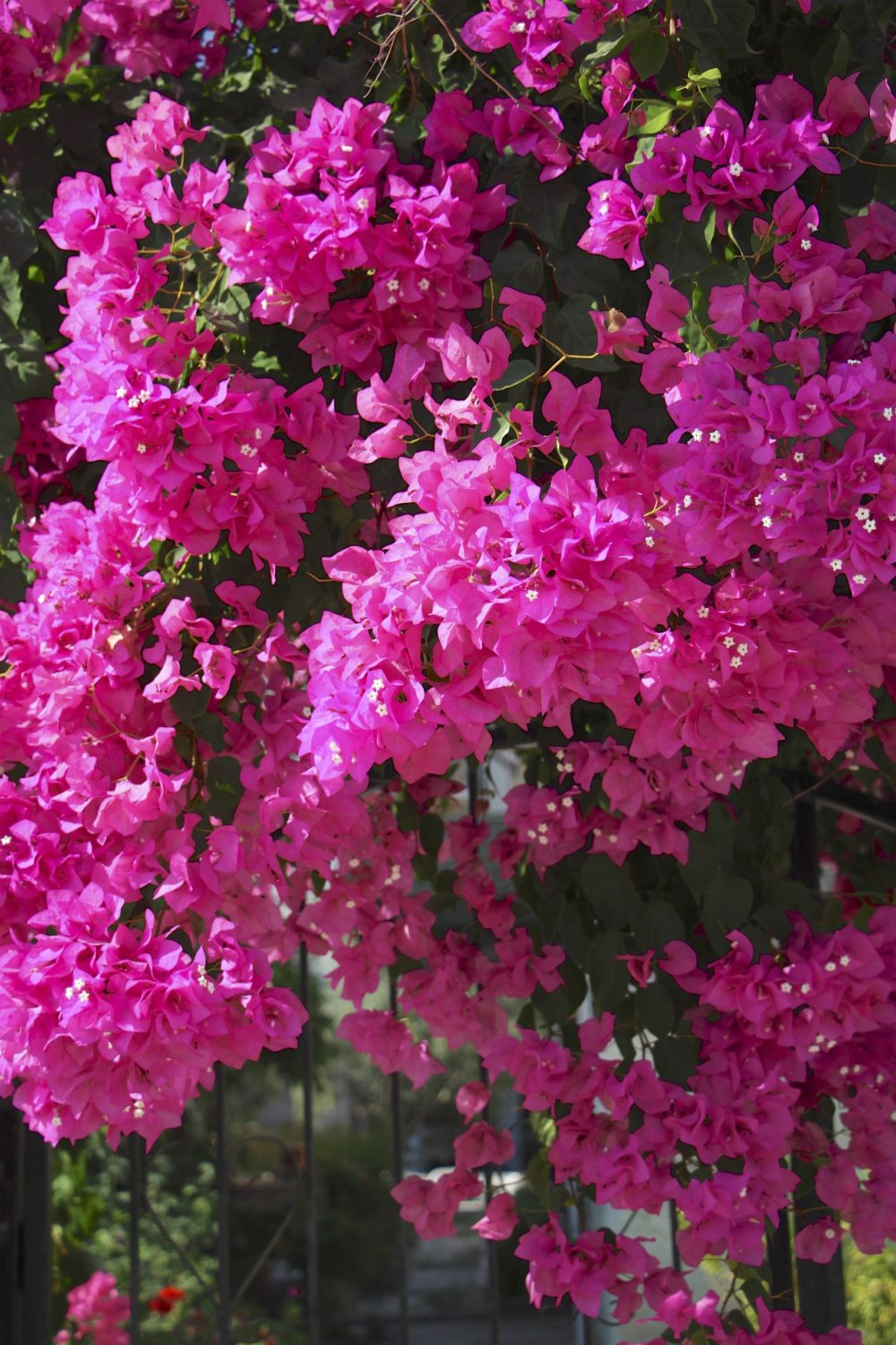Bougainvillea growing over a gateway