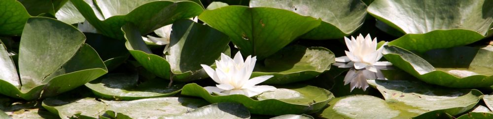 Water Lilies growing in Çiftlik