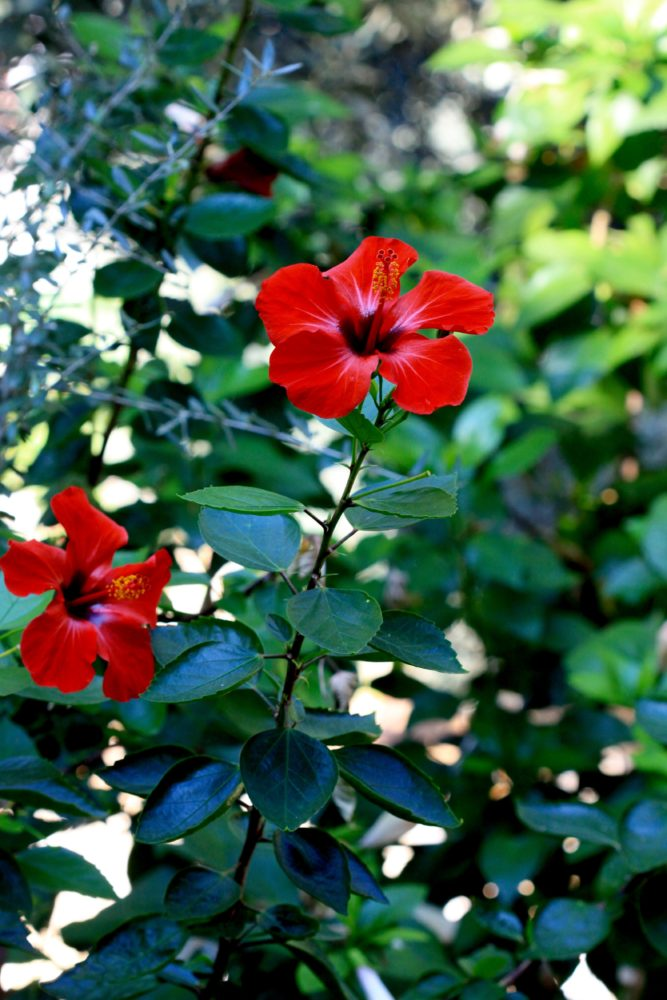 Hibiscus growing in Taşyaka