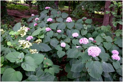 Clerodendron bungei is a deciduous shrub which spreads easily and can be invasive