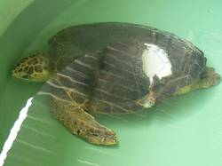 Loggerhead Turtle injured recovering in holding tank