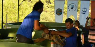 Loggerhead Turtle removed from tank prior to release