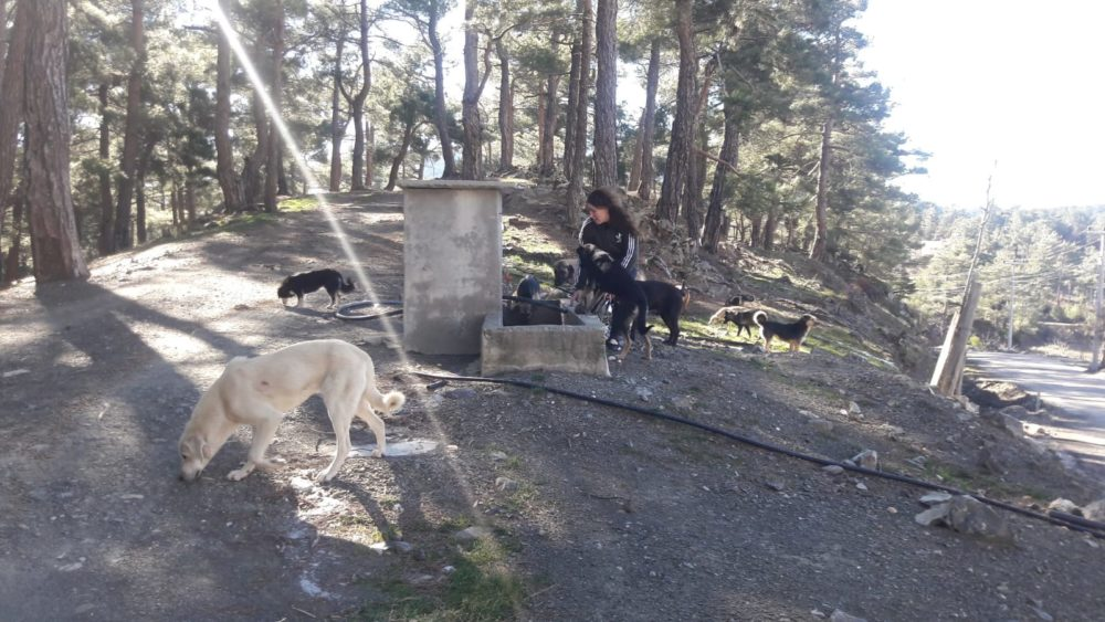 Two truck loads of street dogs from Seydikemer abandoned and left to die