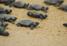 Endangered baby sea turtles hatch at Iztuzu beach
