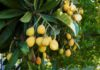 Loquat - the fruit that tastes much better than it looks
