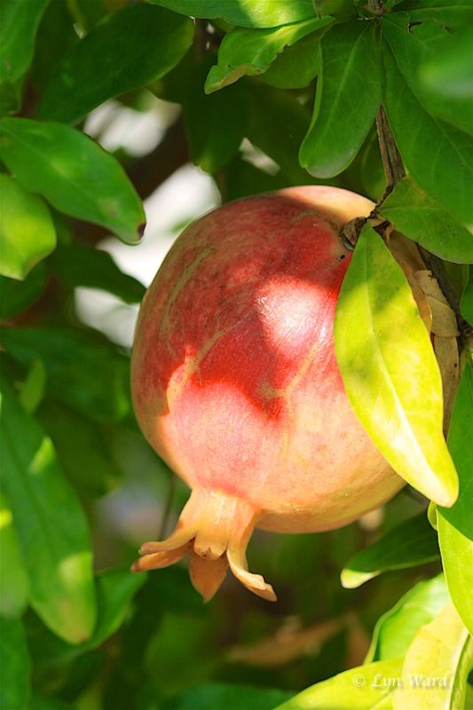 Pomegranates - tangy, delicious and full of health benefits