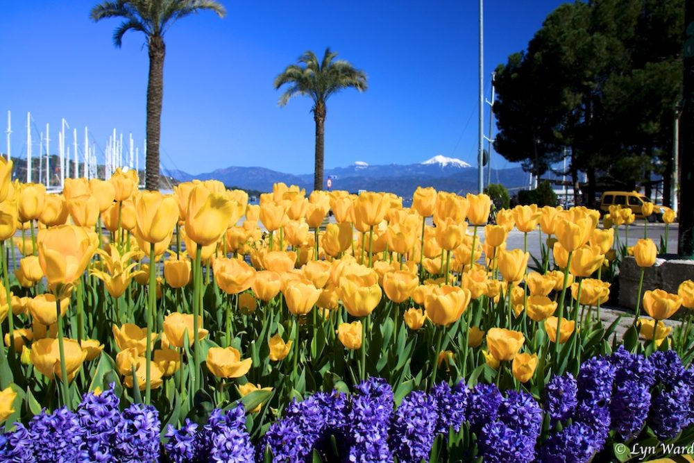 Tulips - Turkey's gift to the world
