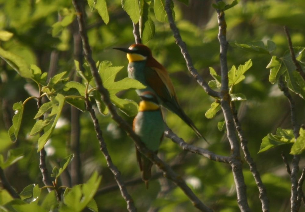Dog Walk Discoveries - European bee-eaters