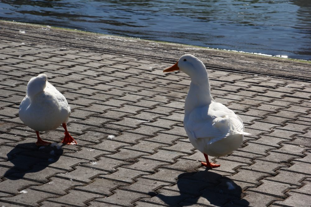 Ducks out for a stroll at Akarca