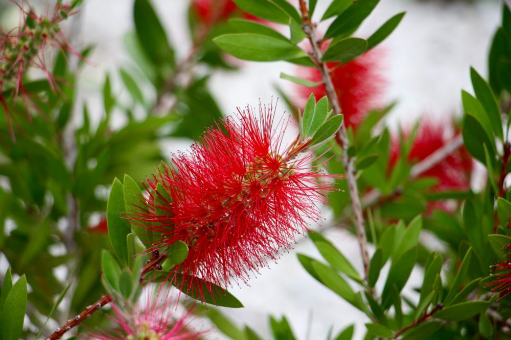 Bottlebrush growing in Kocaçalış