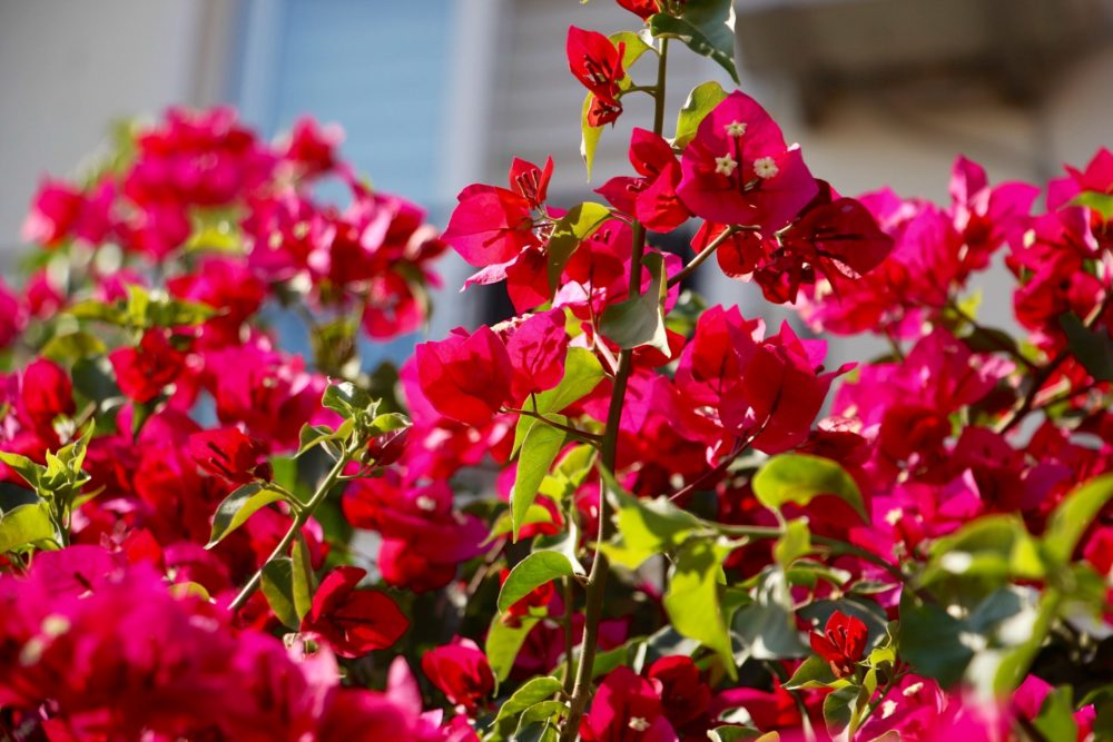 Bougainvillea forming a hedge around a garden