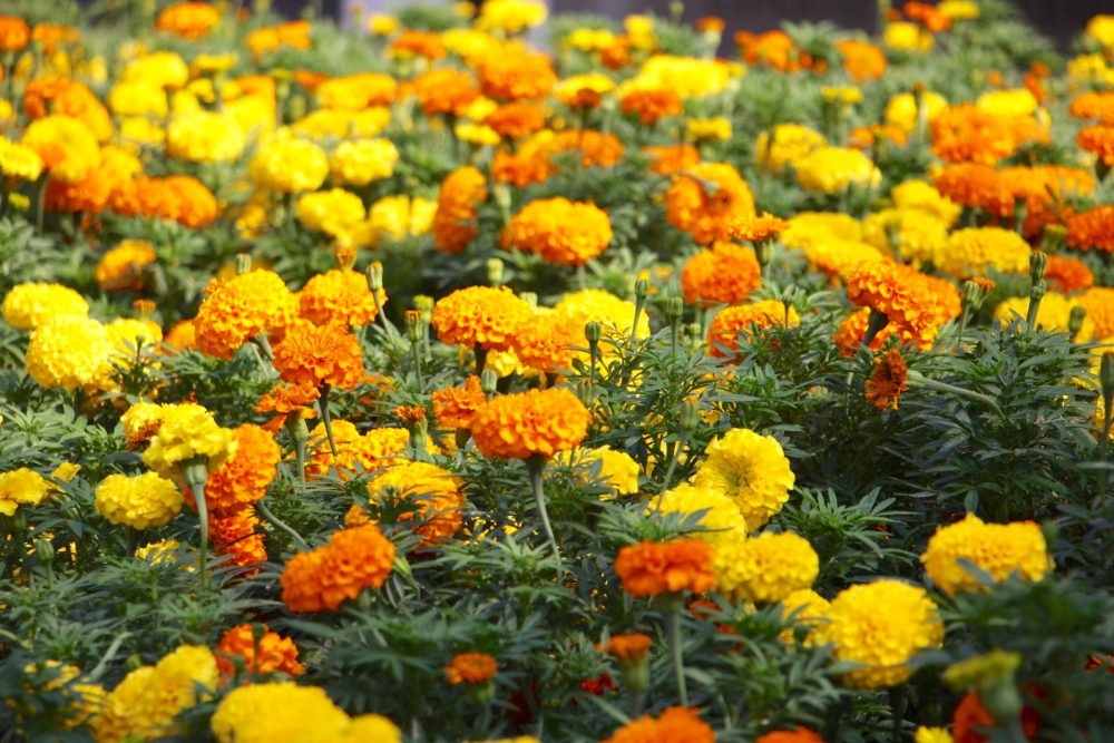 Marigolds in full bloom in Fethiye centre