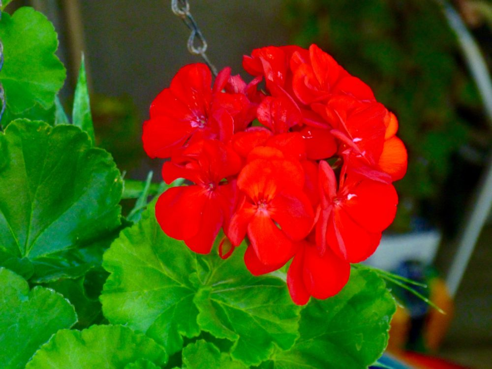 Geraniums love the sun and grow well in containers, borders or beds
